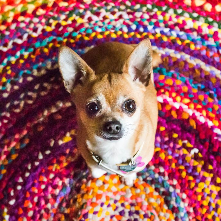 chihuahua on colourful mat