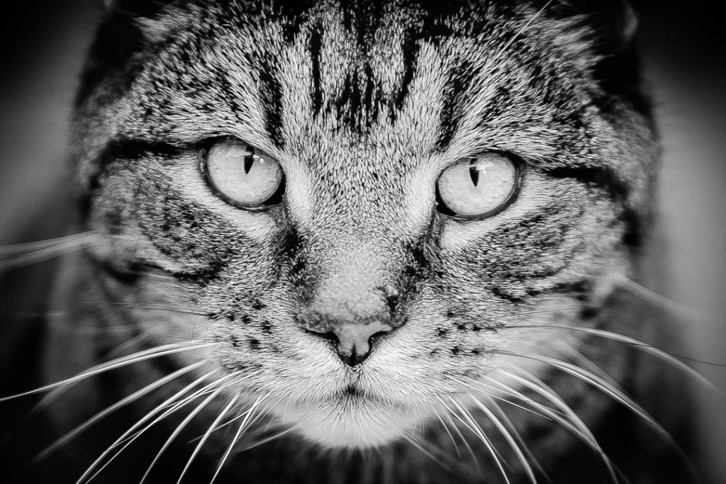 staring cat portrait