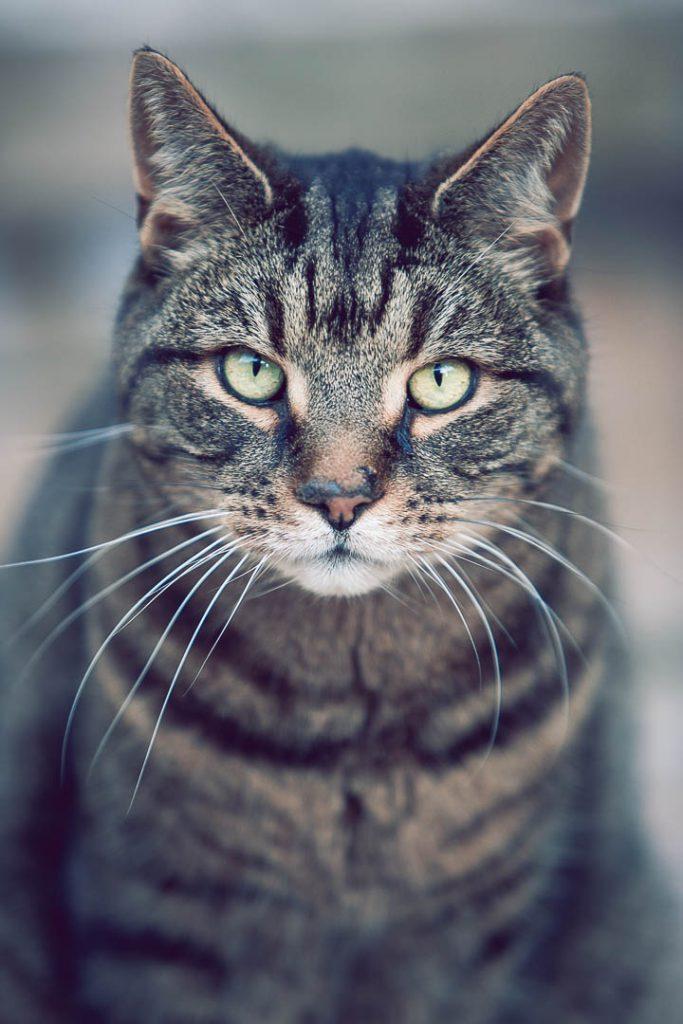 staring cat portrait