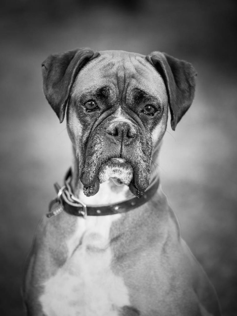black and white dog photography