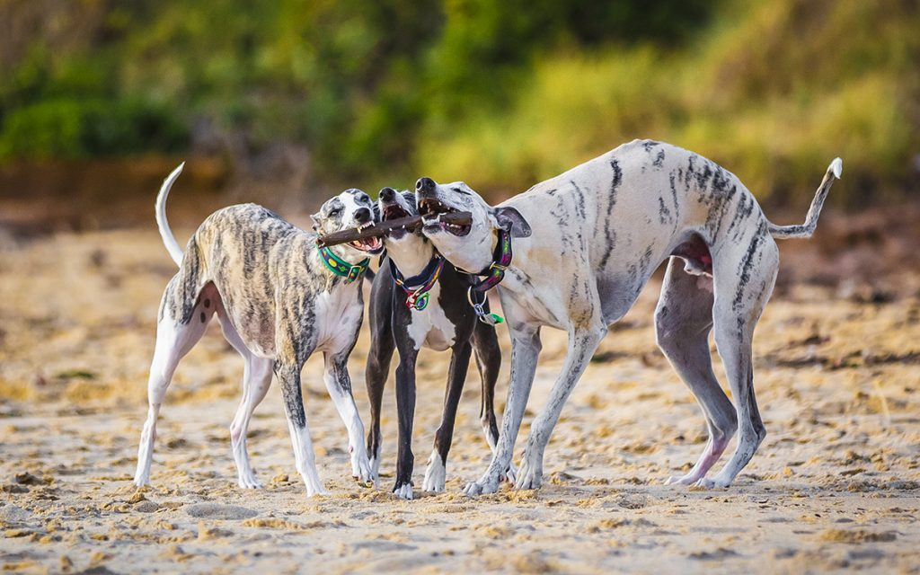 Whippets_Michelle-053